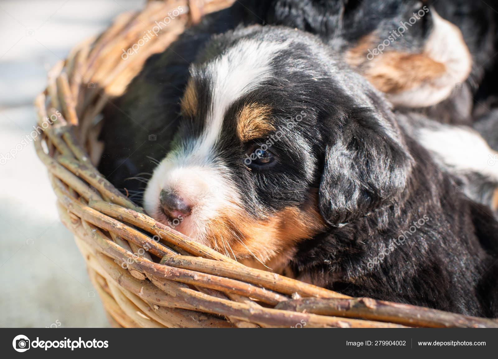 Cute Bernese Mountain Dogs Puppies Stock Photo C Fotokostic 279904002