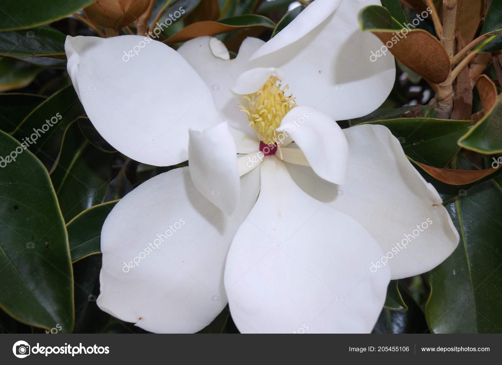 Full White Magnolia Flower Tree Stock Photo Jaimietuchman