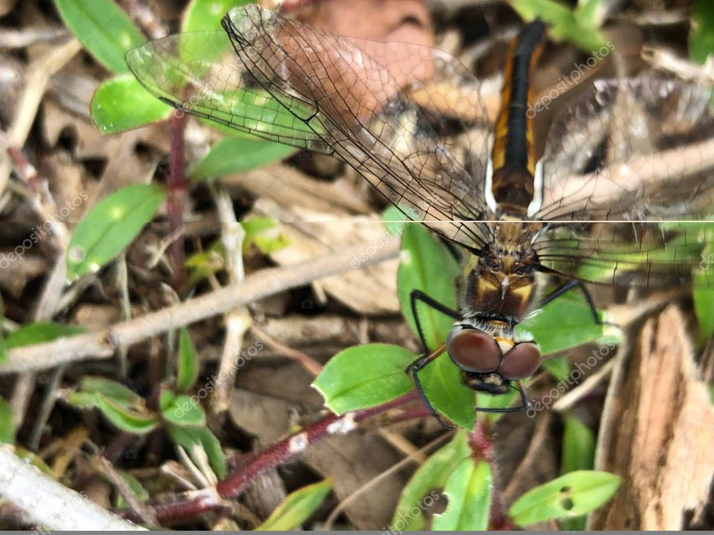 dragonfly lands on brown mulch in the summer