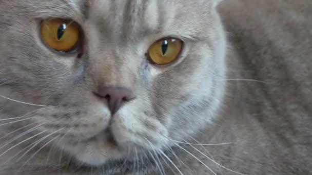 Közelről. gyönyörű kiscicák krém tabby brit a nagy sárga szemek. Aranyos vicces macska van feküdt a kanapén, és nézi a kamera.