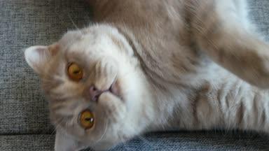 Piękny Kot Brytyjski Jest Leżący Kanapie Domu Niebieski Szkockie