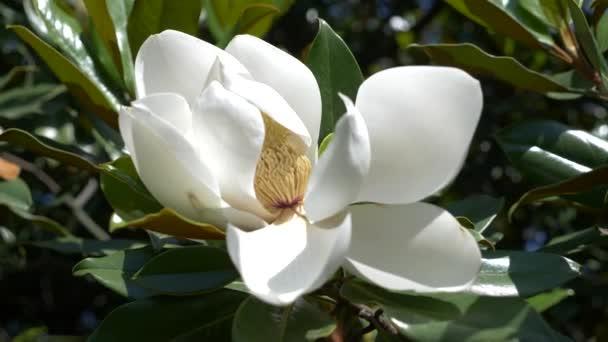 Krásná bílá magnolia květina v zahradní detail. 4k, květ foukané větrem. Zpomalený pohyb