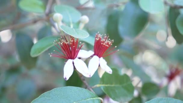Floración De árbol Feijoa Guayaba Piña Acca Sellowiana Guavasteen