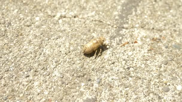 4k, close-up. a cicada larva crawling along the asphalt.