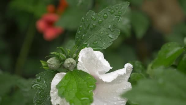 Bílé květy zblízka Rose a Sharon nebo Althea. Hibiscus syriacus. po dešti kapky rosy na okvětních lístků a listy. 4k