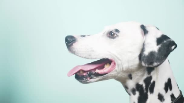 Dalmatian dog portrait in profile. Isolated on blue background. 4k, slow-motion, close-up
