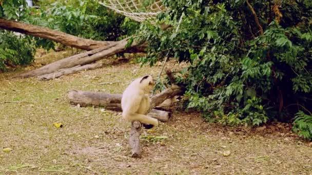 Ženské gibbon žluté s černou tváří a bílou srstí na obočí, tváře, rukou a nohou sedí na kládě v rezervaci otevřené zoo