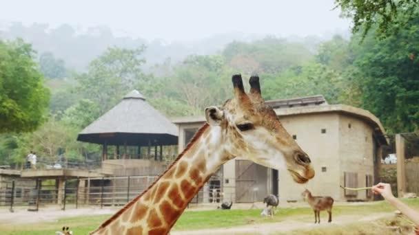 Detailní záběr žirafí hlavy. lidé krmit žirafa v otevřené zoo