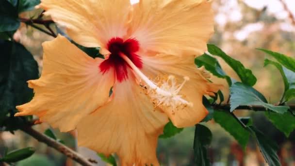 közeli, narancssárga kínai Rózsa virág, kínai hibiszkusz egy ága a kertben