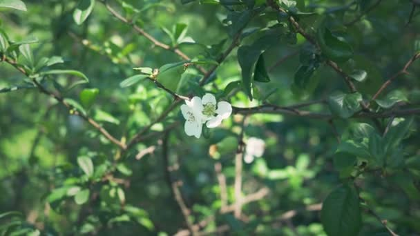 close-up. A branch of flowering Japanese quince with green fruit. Fruit bush with beautiful white flowers and green fruit
