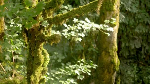közeli, a moha által borított fák ágai. misztikus erdő.