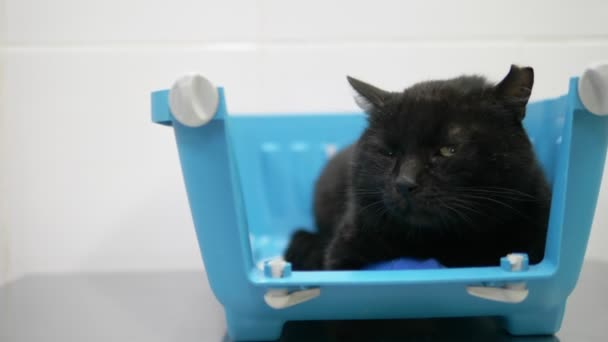 Eine traurige schwarze Katze wartet in einem Tiertransporter auf einen Termin beim Tierarzt in einer Tierklinik. Untersuchung durch einen Tierarzt.