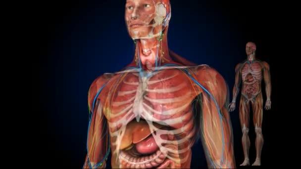 Der menschliche Körper Muskeln Animation — Stockvideo © ozguyilmaz ...