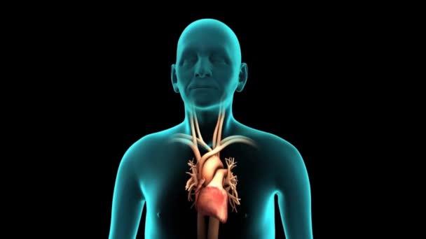 Dýchací  kardiovaskulární systém