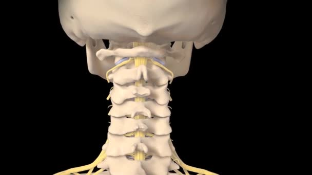 Interior Spinal Cord Structure open door technique,3D Animation