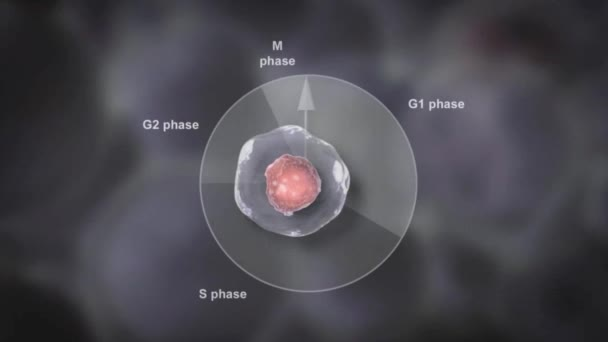 anmation of Interphase Nucleus In Cell