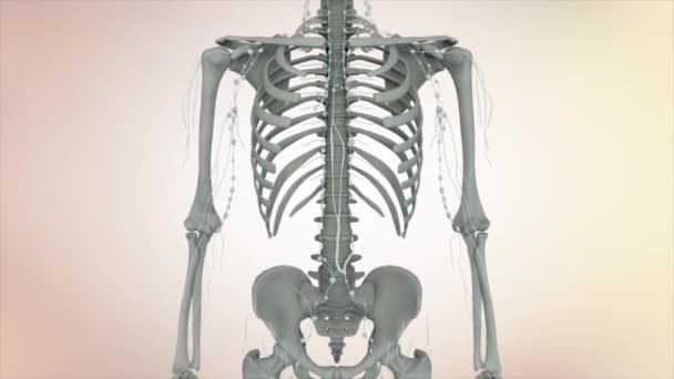 3D Animation human skeleton and organs