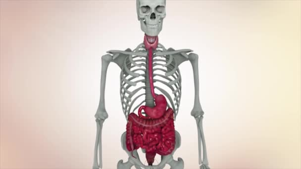 Animation showing male internal organs