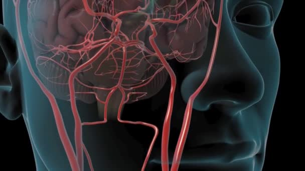 Skull Revealing Cranial Arteries