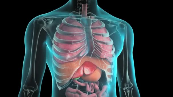 The human internal organs ( Ribcage, diaphragm, liver, stomach)