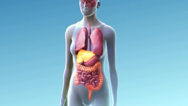 3d Animated Transparent Female Internal Organs Blue Backplane