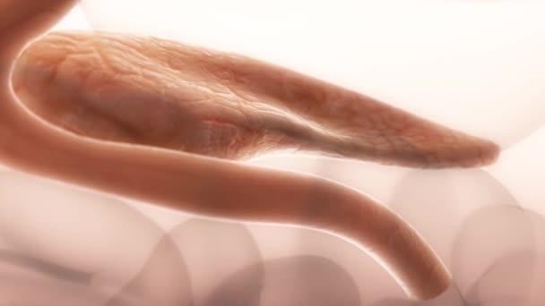 3D animace z lékařsky lidského pankreatu. Struktura slinivky