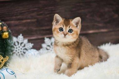 kitten cat Scottish straight, loose fluffy, animal munchkin