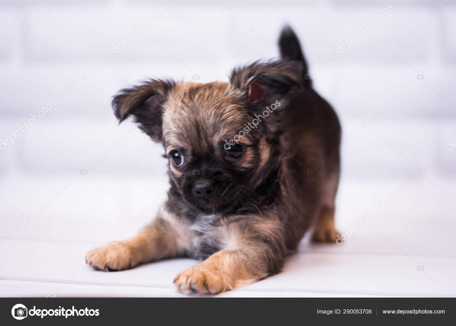 Chihuahua Puppy Spitz Dog Pet Yorkshire Terrier Stock Photo C Dasholivia 290053708