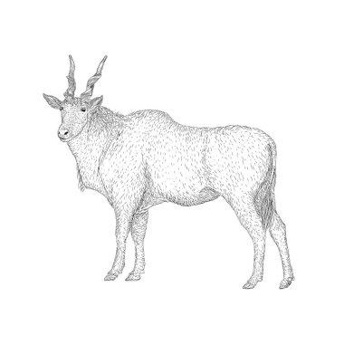 Common eland illustration, a farm animal vector