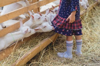 cropped image of goats biting kids dress at farm