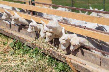 Domestic goats eating hay at ranch stock vector