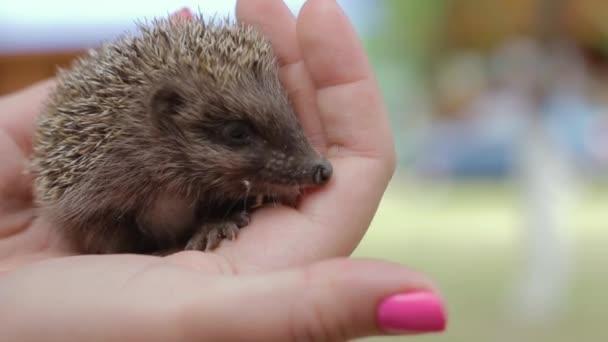 A small hedgehog on womens palms