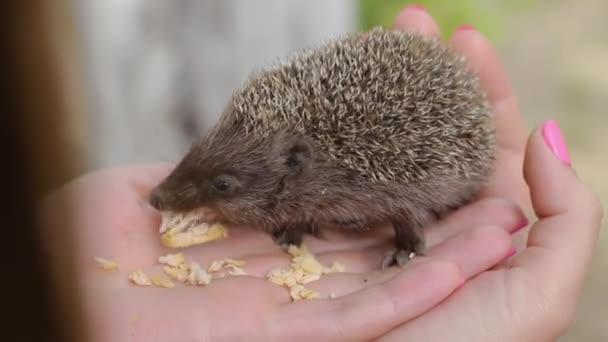 Small hedgehog eats meat on womens palms