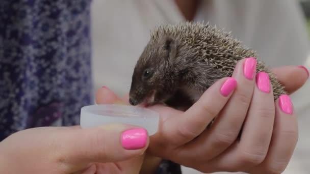 Tiny hedgehog drinks water on womens palms