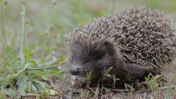 A tiny hedgehog on the clearing looks closely