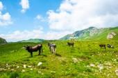 Fotografie krávy pasoucí se na zelené údolí nedaleko hory v masivu Durmitor, Černá Hora