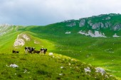 Fotografie cows grazing on green valley with sunlight in Durmitor massif, Montenegro