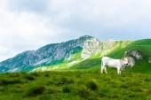 bílá kráva stojící na zelené údolí v masivu Durmitor, Černá Hora