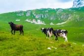 krávy pasoucí se na zelené údolí v masivu Durmitor, Černá Hora