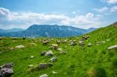 stádo ovcí pasoucích se na údolí s malými kameny v masivu Durmitor, Černá Hora
