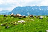 Fotografie stádo ovcí pasoucích se na údolí pohoří na pozadí v masivu Durmitor, Černá Hora