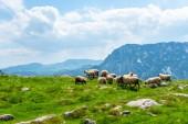 Fotografie hejno krásných ovcí pasoucích se na údolí v masivu Durmitor, Černá Hora