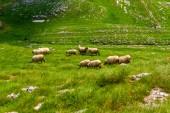 Fotografie stádo ovcí pasoucích se na údolí v masivu Durmitor, Černá Hora