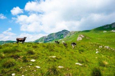 Cows grazing on green valley in Durmitor massif, Montenegro stock vector