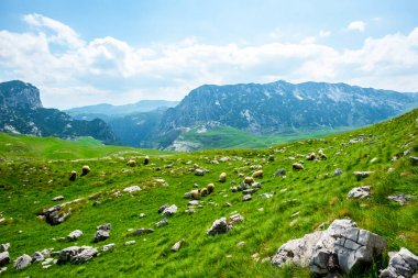 Beautiful view of flock of sheep grazing on valley in Durmitor massif, Montenegro stock vector