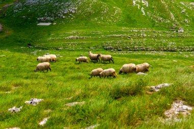Flock of sheep grazing on valley in Durmitor massif, Montenegro stock vector