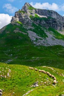 Flock of sheep walking on valley in Durmitor massif, Montenegro stock vector