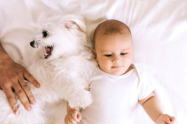 top view of adorable infant boy lying in bed with bichon dog while father playing with him