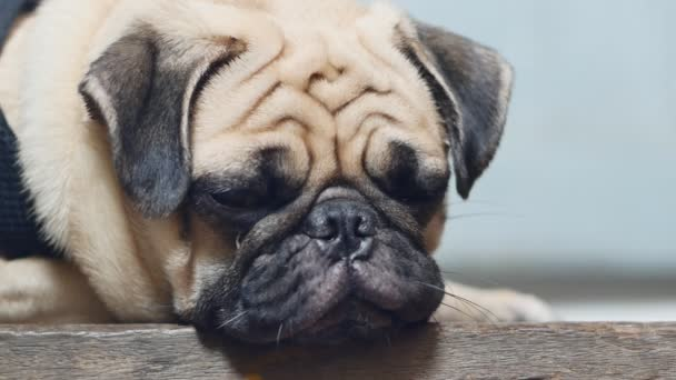 Aranyos mopsz kiskutya kutya alszik többi az állát, a fa padló közeli arcát