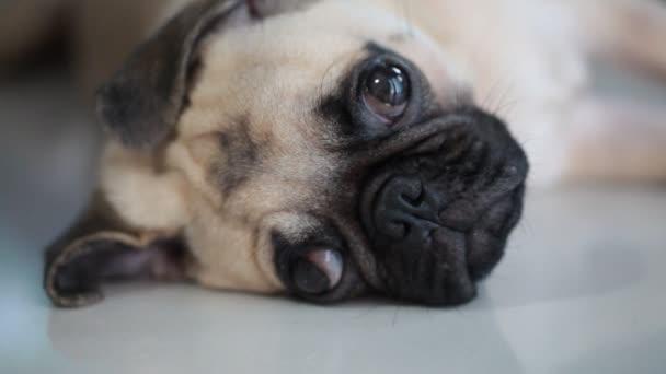 Aranyos mopsz kiskutya kutya alszik az állát és a nyelv kilóg a többi közeli arcát megállapítani a kockakõre
